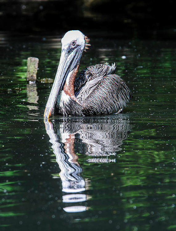 The brown pelican (Pelecanus occidentalis) is commonly found on both coasts of the United States as well as elsewhere in the Western Hemisphere. Here photographed at the Bronx Zoo.
