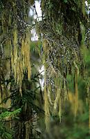 Bartflechte, Bart-Flechte, hängt von den Zweigen einer Fichte herab, Usnea longissima, Dolichousnea longissima, Old Man's Beard, Beard Lichen, Treemoss, Methuselah's beard lichen