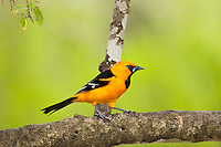 561820080 a wild altimara oriole icterus gularis perches in a tree at bentsen state park hidalgo county texas united states