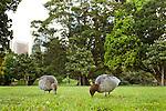 Maned Duck (Chenonetta jubata) female and drake grazing in urban park, Royal Botanic Gardens, Sydney, New South Wales, Australia