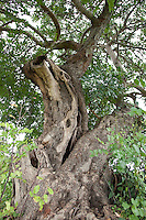 Johannisbrotbaum, Johannis-Brotbaum, Johannis - Brotbaum, alter knorriger Baum mit Baumhöhlen, Ceratonia siliqua, Carob, St John´s Bread, Caroubier