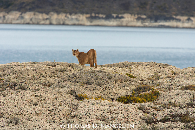 A Puma looks from its perch on the rocks above the water in Patagonia, Chile.