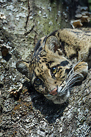 CLOUDED LEOPARD (Neofelis nebulosa) . Found in Indochina, India, Sumatra, Borneo & Taiwan.