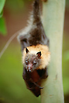 Fruit bat, Australia
