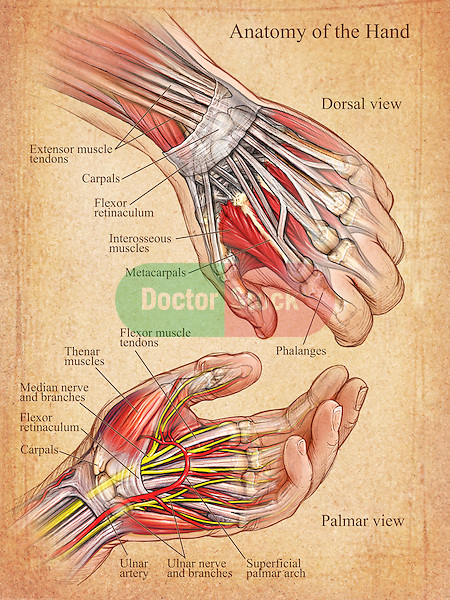 This stock medical illustration shows an editorial image featuring palmar (front) and dorsal (back) views of the left hand and wrist on a parchment textured background.medical illustration shows an editorial image featuring palmar (front) and dorsal (back) views of the left hand and wrist on a parchment textured background.