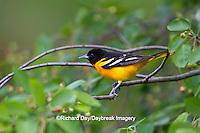01611-08714 Baltimore Oriole (Icterus galbula) male in Serviceberry Bush (Amelanchier canadensis) Marion Co., IL
