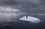 Gentoo penguin on an iceberg, Antarctica
