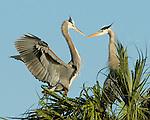 Two Great Blue Heron.Ardea herodias at Viera Wetlands Viera Florida, December 30, 2008. © Fitzroy Barrett