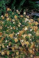 Holodiscus discolor (Cream Bush, Ocean Spray) California native shrub.