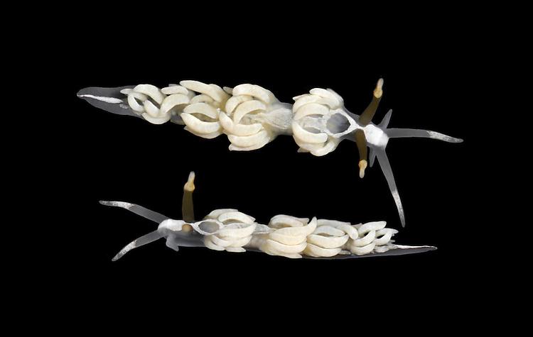 Favorinus branchialis - Sea Slug