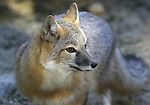 FB-S162  Kit Fox/Swift Fox
