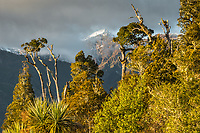 Native forest with mountains near Whataroa in morning, Westland Tai Poutini National Park, West Coast, UNESCO World Heritage Area, New Zealand, NZ