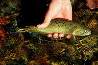 A westslope Cutthroat trout, being released by a fly fisherman on the Middle Fork of the Flathead River near Kalispell, Montana.