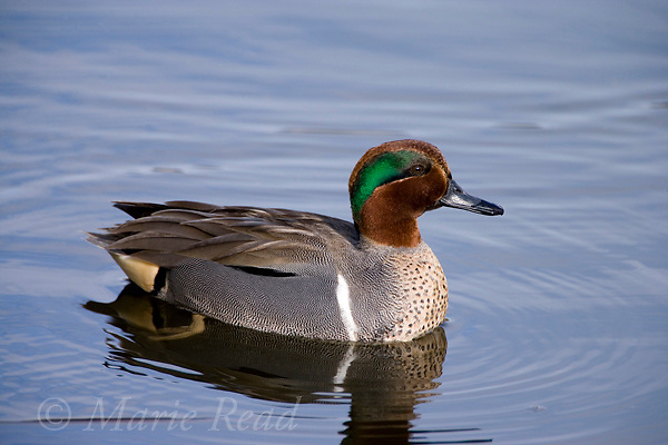 Green-winged Teal (Anas crecca) male in breeding plumage, Upper Newport Bay, California, USA