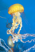 435250010 pacific sea nettle chrysaora fuscescens swim and float in their aquarium at the long beach aquarium in long beach california