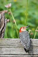 01196-03408 Red-bellied Woodpecker (Melanerpes carolinus) male on fence in flower garden, Marion County, IL