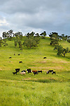 Cattle graze in rich, waist-deep grass near Camanche Reservoir in spring in Amador County, Calif.