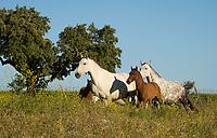 mares and foals at Monte Barrao studfarm, Alentejo, Portugal