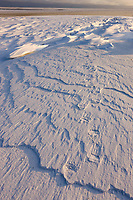 Polar bear tracks in the snow on Barter Island, Beaufort sea in the distance, Arctic, Alaska