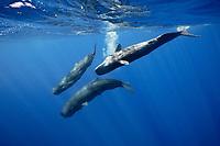 sperm whale, Physeter macrocephalus, Caribbean Sea, Dominica, Atlantic