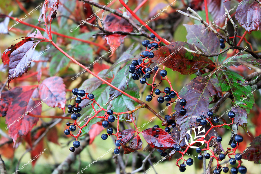 Stock photo: black berries of elder tree in fall with all leaves turned red in the great smoky mountain national park, US.