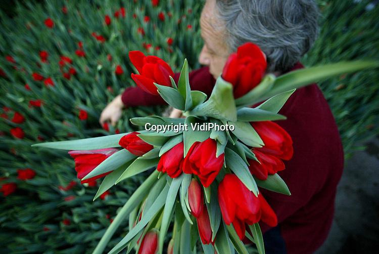 Foto: VidiPhoto..OPHEUSDEN - Het nieuwe seizoen voor de Hollandse kastulpen is begonnen. Bij kwekerij Chelone in Opheusden worden de eerste tulpen -die vooral tijdens Kerst enorm populair zijn- geplukt voor de bloemenveiling Oost-Nederland in Bemmel. Volgens kweker Jan Arends hebben de tulpen nog nooit zo vroeg in bloei gestaan en is de groei nog nooit zo snel gegaan als dit jaar. Volgens Arens is dat dankzij het droge voorjaar en de warme zomer. Het seizoen voor kastulpen loopt normaal van half december tot eind april.