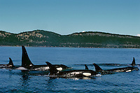 Orca Whale or killer whale (Orcinus orca) pod swimming in Puget Sound area.