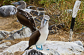 Two Blue-footed Boobys - an immature one in profile and an adult facing the viewer in a three-quarter stance - showing the coloring changes that occur as the birds mature.