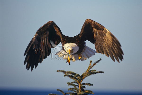 Bald eagle (Haliaeetus leucocephalus) taking off from perch.