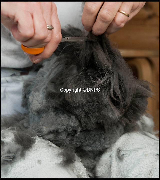 BNPS.co.uk (01202 558833)<br /> Pic: LauraDale/BNPS<br /> <br /> Sally very carefully hand cuts the valable fur....<br /> <br /> Resourceful rabbit owner Sally May is making her winter woollies from the fleece of her fluffy Angora bunnies.<br /> <br /> Sally, who lives in Wiltshire, got her first Angora rabbit 40 years ago when a friend wanted to get rid of one. Now she has 20 which she regularly clips to make the warmest, softest, and even waterproof, wool.<br /> <br /> Angora fibres are prized for their fluffy texture. It's about six times warmer than sheep's wool, and the fibre is also exceptionally fine, just 11 microns (thousands of a millimetre), which make it softer than cashmere. It has a trade value of £22 to £28 per kilo.<br /> <br /> The 67-year-old also exhibits her pampered pets at big shows, the rabbit equivalent of Crufts, and her brown-grey angora Brianna just won 'best in show' at the Three Counties Show in Malvern, just beating its sister Bunny.
