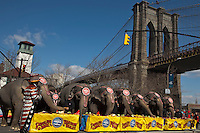 "Elephants eat during ""Jumbo's coming to DUMBO"" where Asian Elephants dance in a party at brooklyn bridge to commemorate its inaugural show in Brooklyn. Photo by Eduardo Munoz Alvarez / VIEWpress."