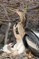 Anhinga - Anhinga anhinga - family on nest