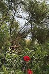 Israel, Negev, Poppies flowers in Ein Shaviv