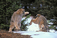 LYNX - BOBCAT  encounter. Lynx on left (Felis lynx canadensis). Bobcat on right (Felis rufus). Winter. Rocky Mountains. North America. Contolled situation with captive animals.