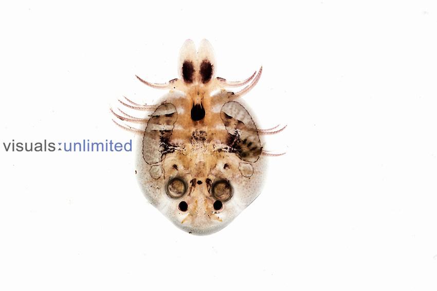 Fish louse argulus foliaceus visuals unlimited for Freshwater fish parasite identification