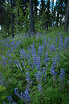 Lupines growing along the woods on Katka Rd.
