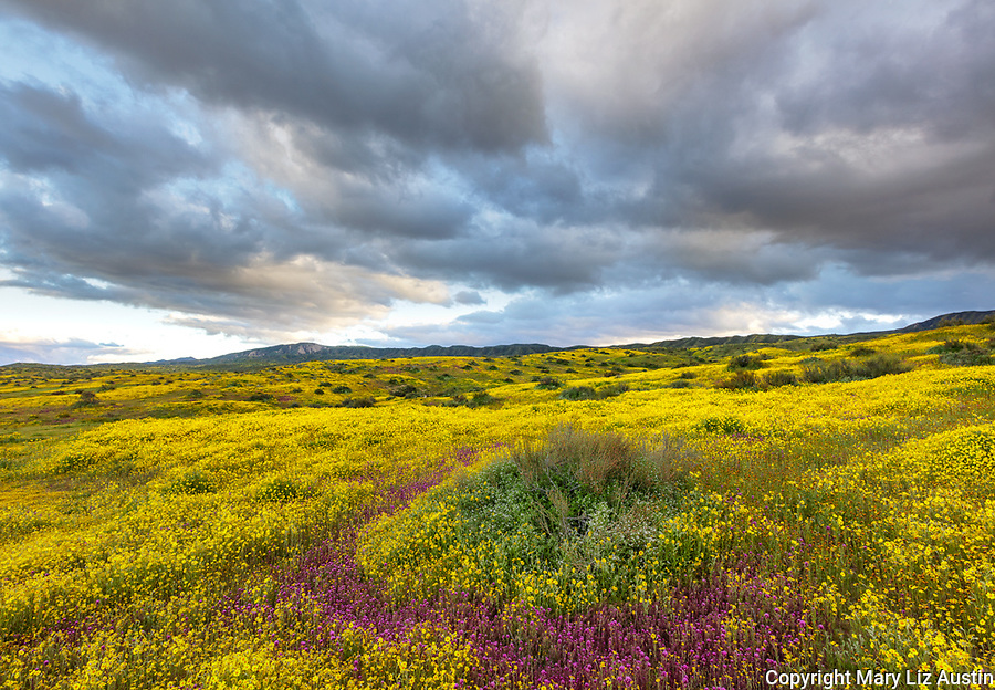 Carrizo Plain National Monument, CA: Yellow flowering monolopia and purple flowering Owl's-clover surround a Mormon Tea bush under evening clouds