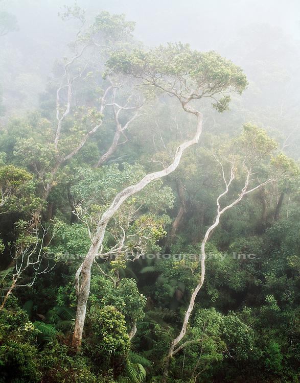 Ohia tree, Kauai Na Pali Coast State Park