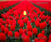 Tom Mackie, FLOWERS, photos, Yellow Tulip In Red Tulip Field, Lisse, Holland, GBTM990144-3,#F# Garten, jardín