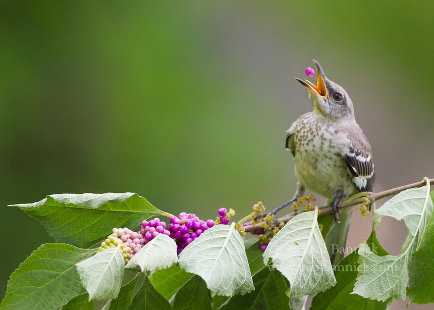 A Juvenile Northern Mockingbird feeds on American Beauty berries.
