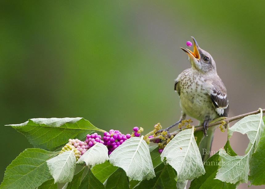 A Juvenile Northern Mockingbird feeds on American Beauty berries.