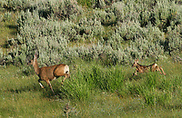 A mule deer and fawn make a break for it.