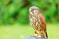 Captive kestrel on display at Glenveagh Castle, Glenveagh National Park, County Donegal, Republic of Ireland