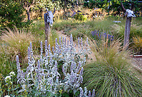 Stachys lanata (aka S. byzantina) Lamb's Ear, gray foliage perennial flowering in meadow garden with grasses with path framed by whimsical cow skulls on posts - Barbata garden, Walnut Creek, California