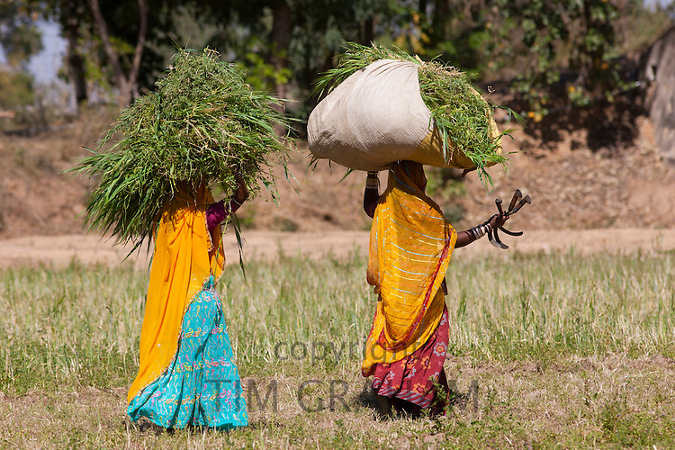 Lucerne crop being carried for animal forage by local agricultural workers in fields at Nimaj, Rajasthan, Northern India