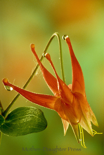 Columbine flower, Aquilegia in green and orange with dew on petals