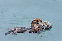 Sea Otter (Enhydra lutris) mom with young pup resting in sheltered bay on Prince William Sound, Alaska.  Spring.  Raining.