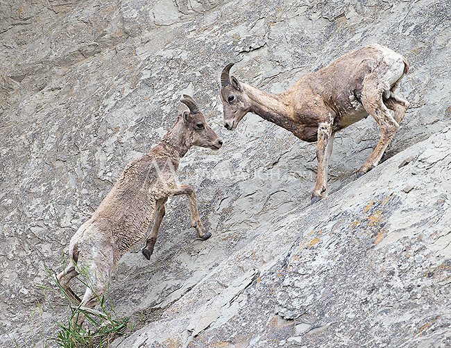 Bighorn sheep are adept at negotiating steep cliffs.