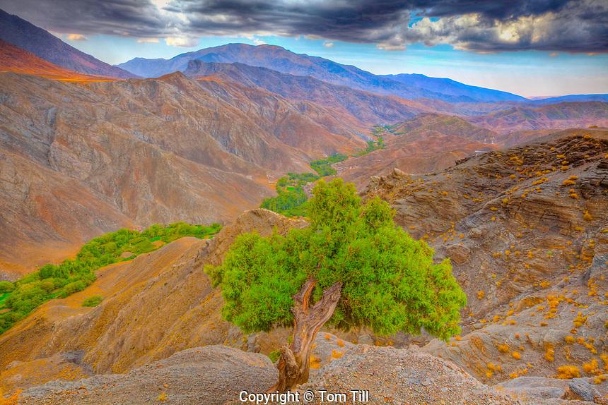 Atlas cedar in Atlas Mountains seen from Tizi n'Tichka Road, Morocco Cedrus atlantica