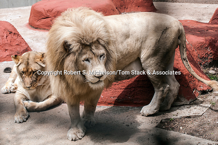 african lion female (left) and white lion male (right)